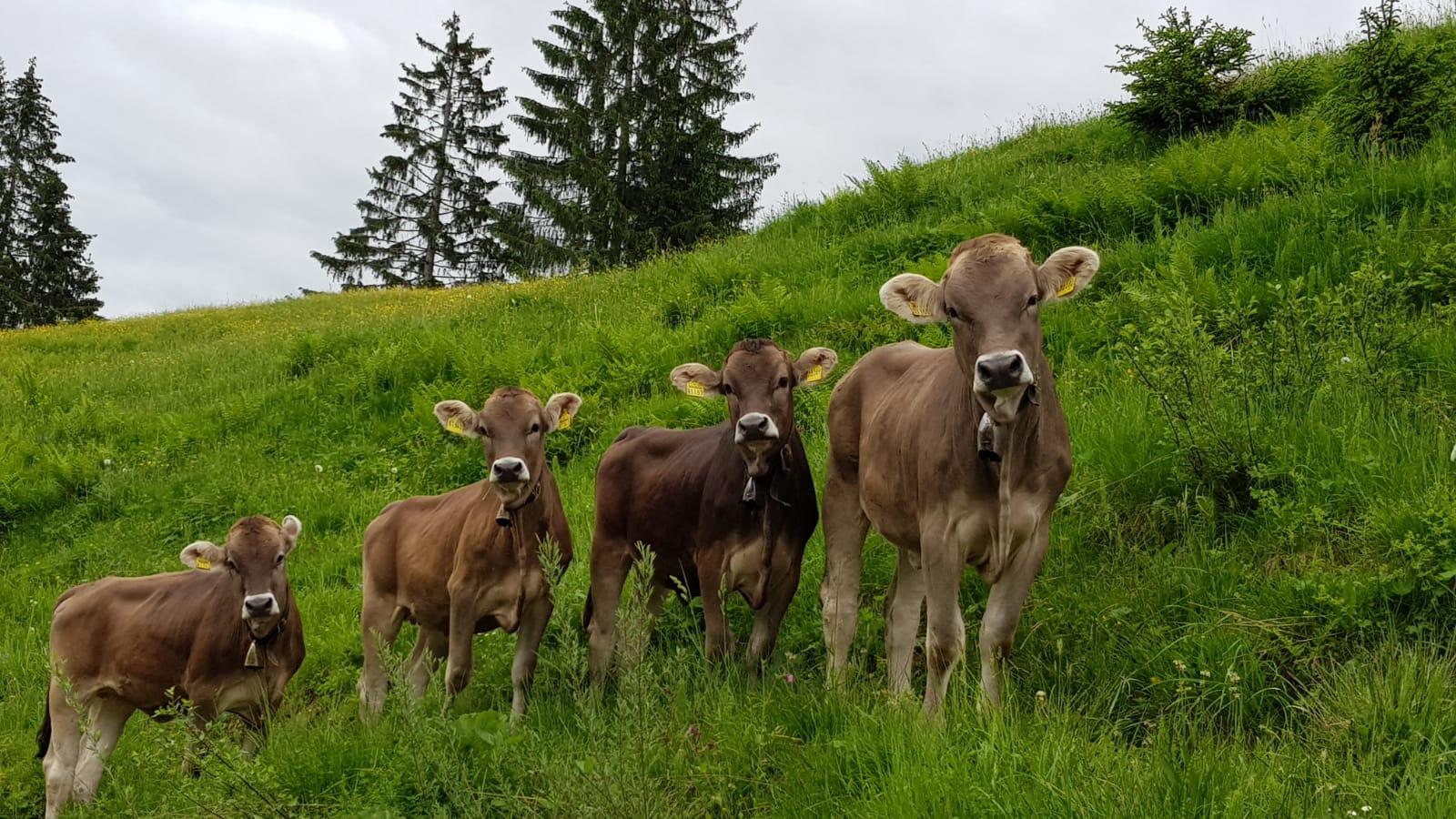 braune Kühe auf Wiese im Allgäu